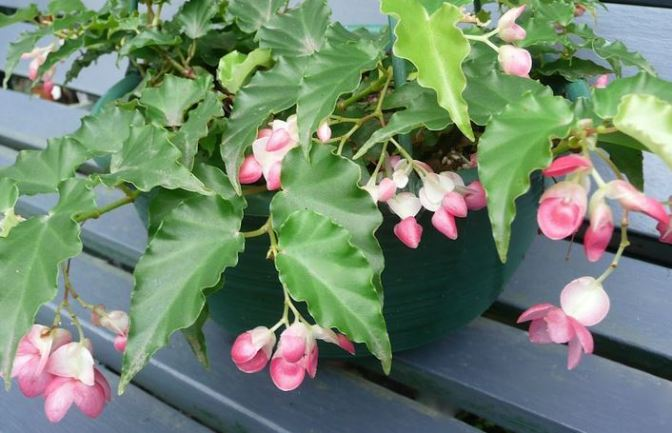 B. 'Tiny Gem', Trailing Scandent Hybrid Begonia, Melbourne Begonia Society