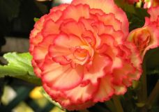 B. 'Bali Hi', Tuberous Hybrid Begonia, Melbourne Begonia Society