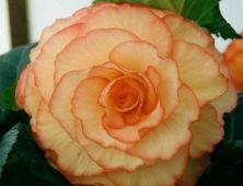 B. 'Fred Martin', Tuberous Hybrid Begonia, Melbourne Begonia Society