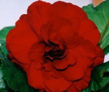 B. 'Harry's Dark Red', Tuberous Hybrid Begonia, Melbourne Begonia Society