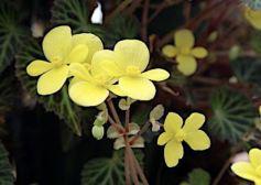 B. pearcei, Tuberous Species Begonia, Melbourne Begonia Society