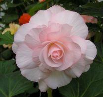 B. 'Pink Cloud', Tuberous Hybrid Begonia, Melbourne Begonia Society