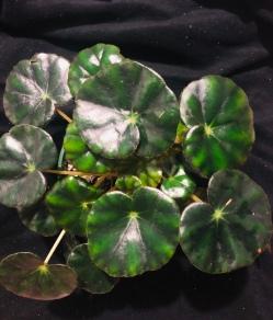<!--B. hydrocotylifolia Vote For Me-->