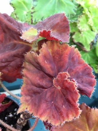 B. Angel Glow (Foliage) - Grower: Jan Wood