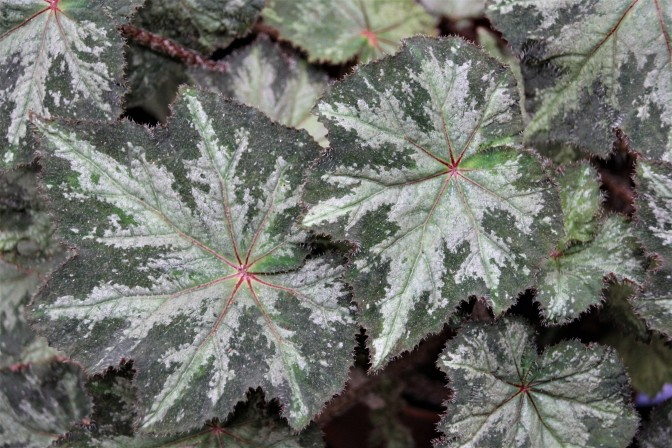 B. 'Annan Jade' (Foliage} - Grower: Kaye Jenvey