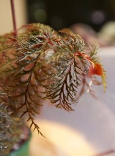 B. bipinnatifida (Foliage) - Grower: Kina Lin-Wilmoth