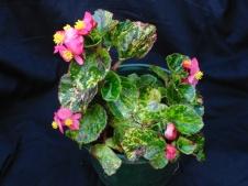 B. Charm (semp) (Flowers) - Grower: Peg Moyle