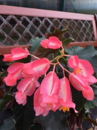 B. Irene Nuss (Flowers) - Grower: Jan Wood