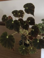 B. Mazea Nigrans (Foliage) - Grower; Sheila Nash