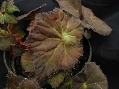 B. Peter Sharp (rhizo) (Foliage) - Grower: Bruce Moyle