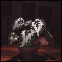 B. Rex Putz (Foliage) - Grower: Lauren Keim