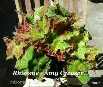 B. Rhizome 'Amy Creaser' (Foliage) - Grower: Vicki Russell