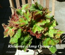 B. Rhizome 'Amy Creaser' (Foliage) - Grower: Vicki Russell
