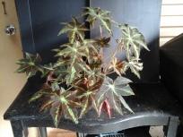 B. Rhizome 'Virbob' (Foliage) - Grower: Kevin Butterworth