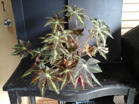 B. Rhizome 'Virbob' (Foliage) - Grower: Kevin Butterworth