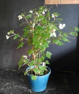 B. Semi-Tuberous 'Dregii' (Flowers) - Grower: Vicki Russell