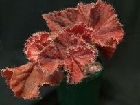 B. Sweet Chilli (Foliage) - Grower: Janeen Randle