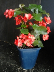 B. Tuberous Non-Stop unknown (Flowers) - Grower: Kevin Butterworth