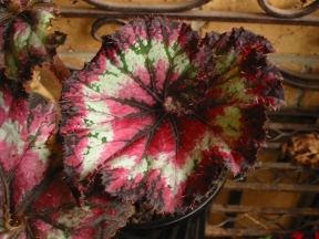 B. Unknown Rex (Foliage) - Grower: Peg Moyle