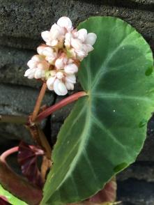 B angularis var compta (Flower) - Grower: J Wood