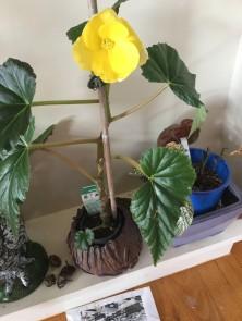 B Ever-flowering hybrid (Flower) - P FisherGrower: