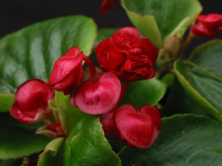 B Fairyland (miniature Semp) (Flower) - Grower: P Moyle