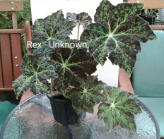 B Rex Unknown (Foliage) - Grower: V Russell