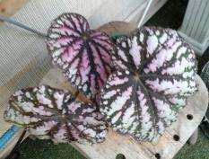 B Rhizome 'Unknown' (Foliage) - Grower: V Russell