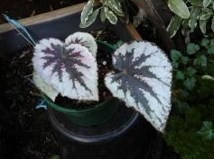 B Thick-stem 'Anita' (Foliage) - Grower: B Moyle