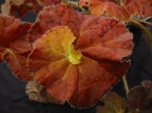 B. Autumn Glow (Rhizo) (Foliage) - Grower: B Moyle