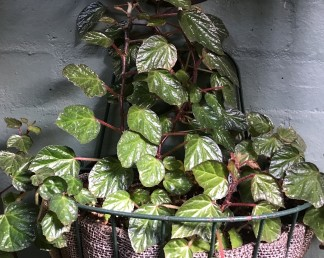 B. Cool Blush - (Foliage) - Grower: J Randle