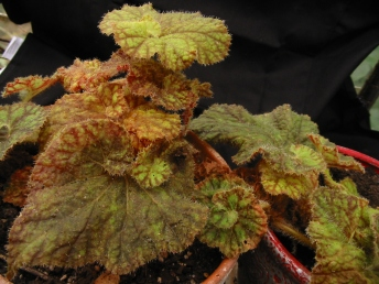 B. Cowardly Lion (Rhizo) (Foliage) - Grower: B Moyle