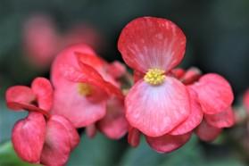 B. 'Dragon Wings Red' (Flower) - Grower: K Jenvey