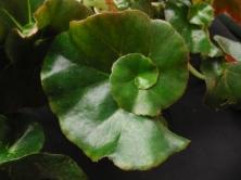B. Erythrophylia Helix (Rhizo) (Foliage) - Grower: P Moyle