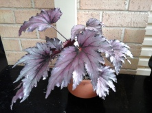 B. Rex Unknown (Foliage) - Grower: V Russell