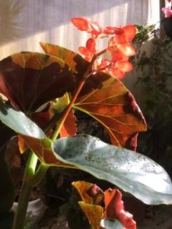 B. Fireball 2 (Foliage) - Grower: L Johnson
