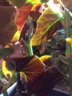 B. Fireball (Foliage) - Grower: L Johnson