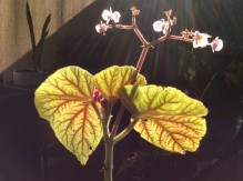 B. Scharfii (Foliage) - Grower: L Johnson