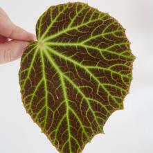 B. chloroneura (Foliage) - (Grower: D Minton)