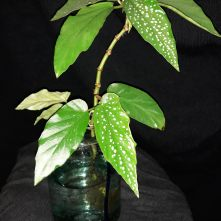 B. hybrida 'White Showers' (Foliage) - (Grower: J Carpenter)