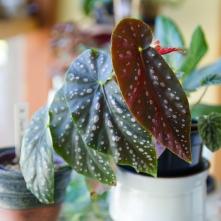 B. 'Jack Samuel' (Foliage) - (Grower: L Wong)