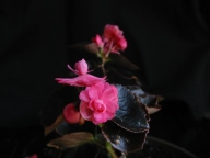 B. Jewelite (semperflorens) (Flowers) - (Grower: P Moyle)