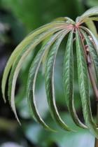B. luxurians (Foliage) - (Grower: K Jenvey)