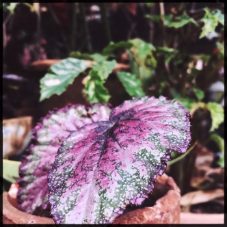 B. Plum Paisley (Foliage) - (Grower: L Keim)