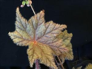B Beverley Jean x Snowy Star (Foliage) B Rhizome Masoniana - Iron Cross (Foliage)   [Grower: J Randle]