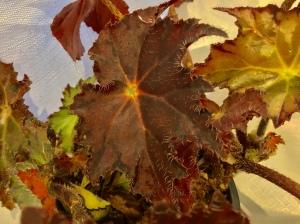 B Chocolate Truffle (Foliage) | [Grower: J Randle]