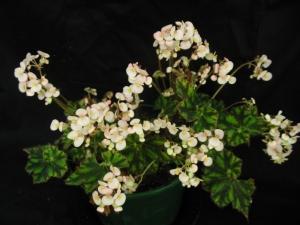 B First Edition (rh) (flowers)   [Grower: P Moyle]