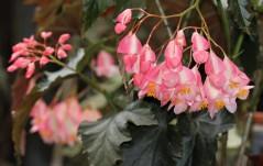 B 'Irene Nuss' (Flowers) | [Grower: K Jenvey]