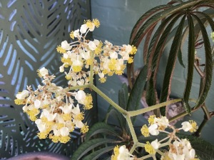 B luxurians (Flowers)   [Grower: J Randle]