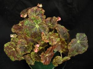 B Redsation (rh) (foliage)   [Grower: B Moyle]